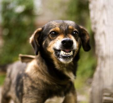 Koira Murisee